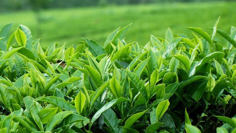 Sử dụng trà xanh cũng là cách giảm triệu chứng ê buốt răng an toàn cho bà bầu