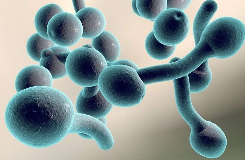 Hình ảnh nấmCandida albicans - thủ phạm chính gây ra bệnh