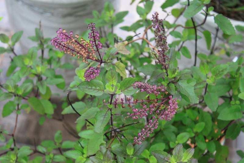 Cây hương nhu tía là một trong những vị thuốc quý với nhiều công dụng hữu ích