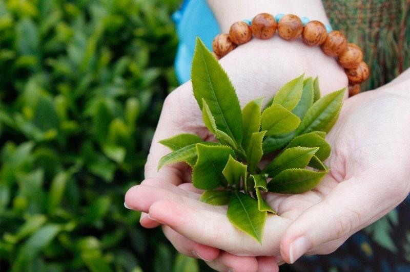 Lá trà xanh có tác dụng sát khuẩn, giảm đau răng cực kỳ hiệu quả