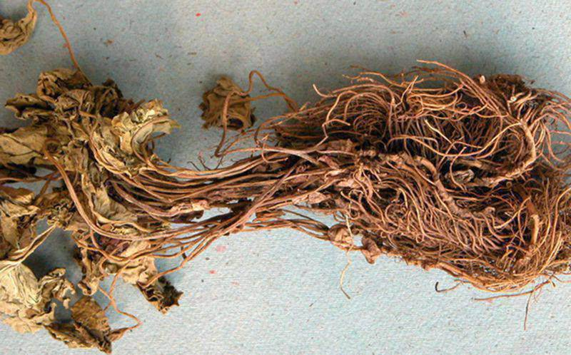 Rễ cây tế tân là thuốc nam chữa viêm nha chu dễ tìm