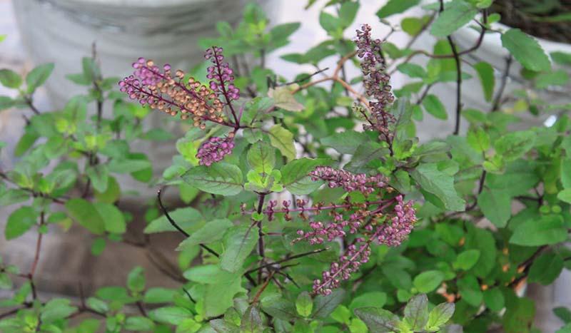 Hương nhu tía có mùi thơm đặc trưng