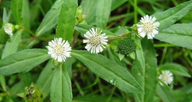Cây cỏ mực trong dân gian còn có tên gọi là cây nhọ nồi