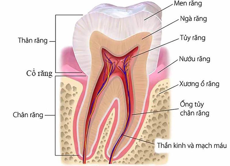 Cấu tạo của răng bao gồm 3 bộ phận chính, gồm: Lớp men, lớp ngà và tủy
