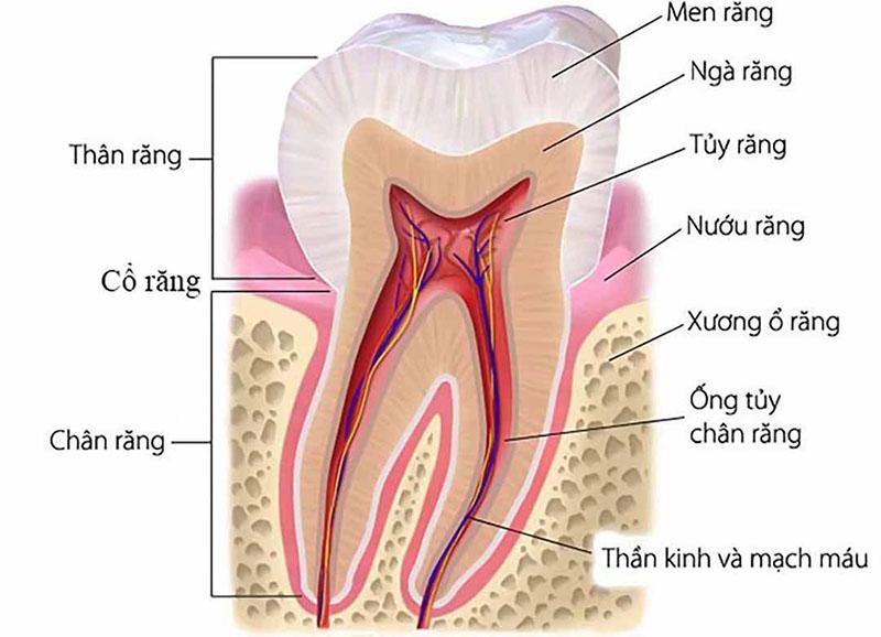 Chi tiết cấu trúc của răng hàm
