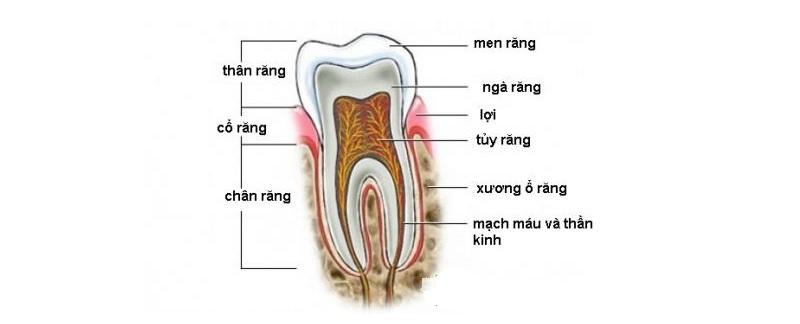 Răng khôn có cấu tạo bao gồm thân răng, cổ chân răng và chân răng