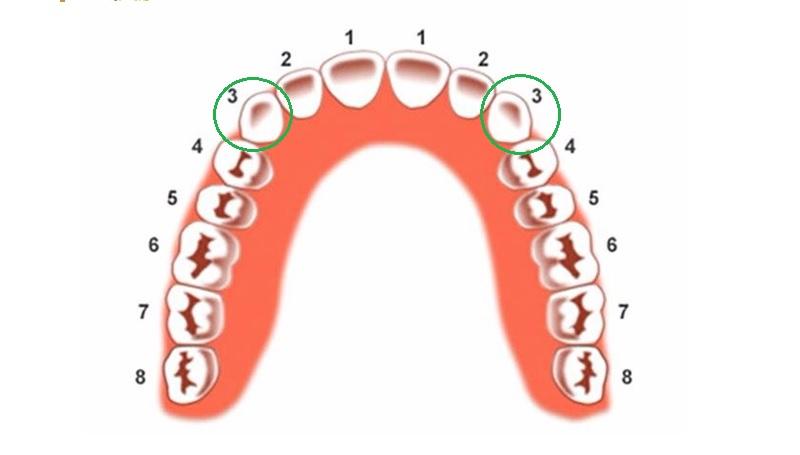 Vị trí của răng nanh trong hàm